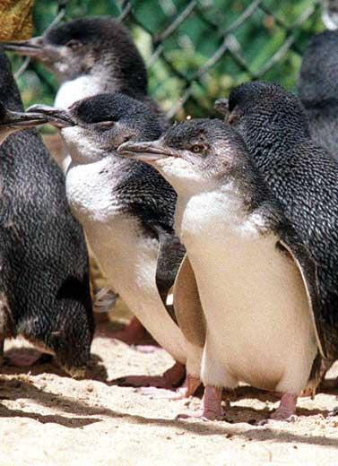 Menonton Parade Pinguin di Melbourne