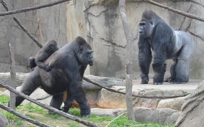 Insiden Anak Jatuh ke Kandang Gorila dan Peringatan untuk Para Orang Tua