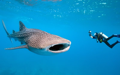 Begini Rasanya Berenang dengan Hiu Paus di Perairan Gorontalo